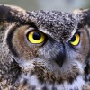 Profile photo of asianowl
